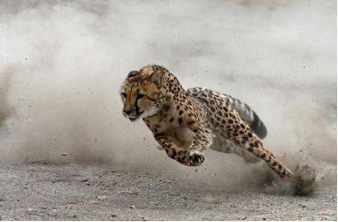 猎豹是陆地上最为凶猛的动物之一